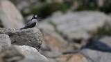 Crested Kingfisher - India