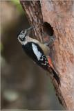 Himalayan Woodpecker - India
