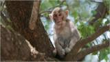 Rhesus macaque - India