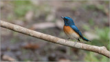 Blue-throated Flycatcher - India