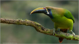 Emerald Toucanette (re-edit)