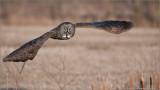 Great Gray Owl in Flight (re-edit)