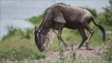 Wildebeest at the Mara River Crossing