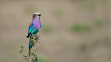 Lillac Breasted Roller