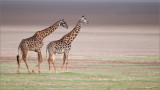 Giraffe Couple in Tanzania