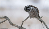 Northern Hawk Owl hunting 30