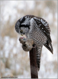 Northern Hawk Owl with Snack 29