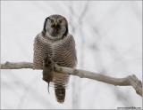 Northern Hawk Owl 31