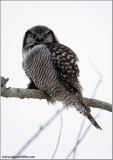 Northern Hawk Owl 32