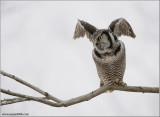 Northern Hawk Owl Lift Off 33