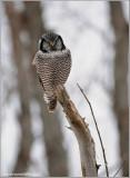 Northern Hawk Owl 35