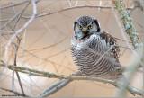 Northern Hawk Owl 34