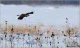 Northern Hawk Owl in Flight 36