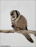 Northern Hawk Owl 37