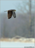Northern Hawk Owl in Flight 38
