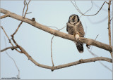 Northern Hawk Owl with lunch 39