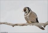 Northern Hawk Owl (down the hatch!) 40