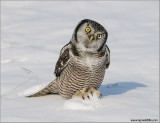 Northern Hawk Owl (read notes) 41