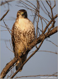 Red-tailed Hawk 116