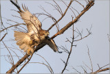 Red-tailed Hawk 117