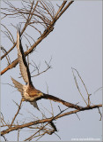 Red-tailed Hawk 118