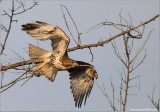 Red-tailed Hawk 119