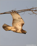 Red-tailed Hawk 120