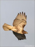 Red-tailed Hawk 121