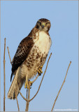 Red-tailed Hawk 122