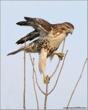 Red-tailed Hawk 123