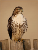 Red-tailed Hawk 124
