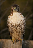 Red-tailed Hawk 125