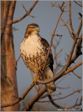 Red-tailed Hawk 126
