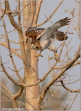 Red-tailed Hawk 127