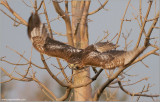 Red-tailed Hawk 128