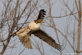 Red-tailed Hawk 129