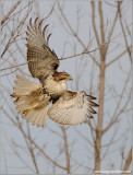 Red-tailed Hawk 130