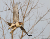 Red-tailed Hawk 131
