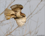 Red-tailed Hawk 132