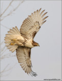 Red-tailed Hawk 133