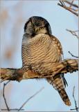 Northern Hawk Owl (edit 2) 42