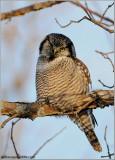 Northern Hawk Owl (edit 1) 43