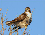 Red-tailed Hawk 136