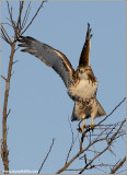 Red-tailed Hawk 137
