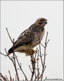 Redtail Hawk 138