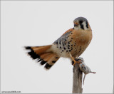 American Kestrel (notes below) 26