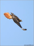 Red-tailed Hawk 139