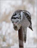 Northern Hawk Owl 44
