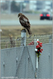 Red-tailed Hawk 140