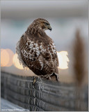 Red-tailed Hawk 141